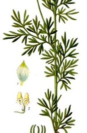Gr. melanthion, or the long history of Nigella Sativa